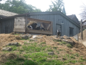 8. Riverdale Farm goats